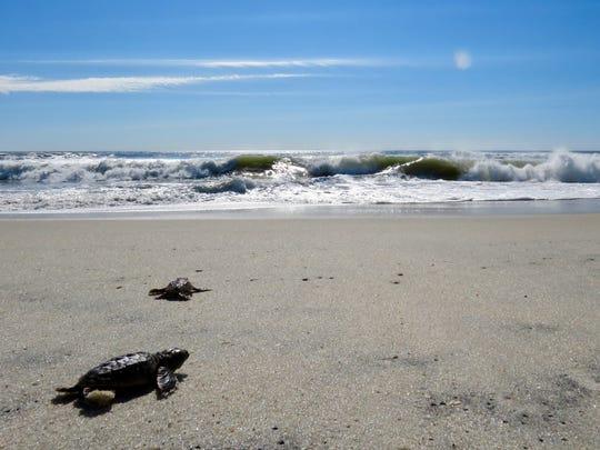 Sea turtle hatchlings head out into the Atlantic Ocean at Assateague Island National Seashore.