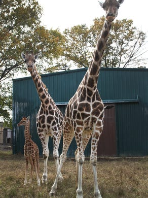 2014: Six Flags Great Adventure had a calf named Mika, a reticulated giraffe born October 11, 2014 at 5 feet, 10 inches tall.