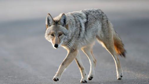 Coyote walking across street.