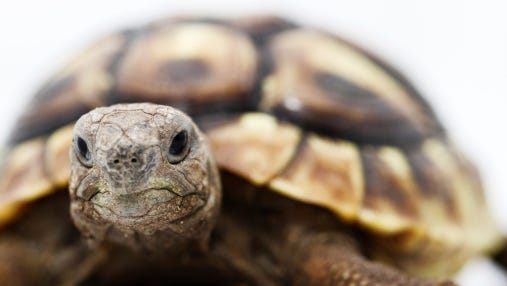 A 50-pound pet tortoise named Frank has gone missing in western Michigan.