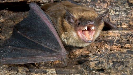 The big brown bat is native to Michigan.