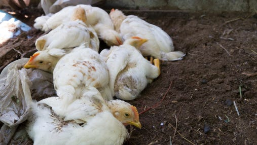 Sunrise Farms says the chlorine dioxide gas and heat treatments used to kill the virus destroyed equipment, electrical wiring and water lines. The farm killed millions of chickens because of a 2015 bird flu outbreak.