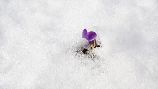 Sweet pea field on which snow lay