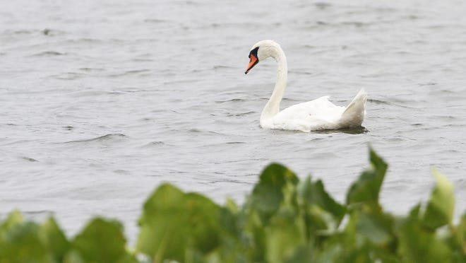 A swan swims in the rain at Rockland State Park in Congers on August 1, 2013.