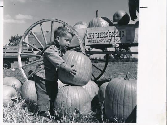 "TIMMY NEVENHAUS AGE 2, PICKS PUMPKINS"" 9/23/63 PHOTO"