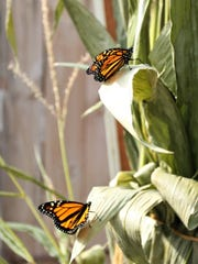 Two local women were able to save these monarch butterflies. They pulled the then-caterpillars from a farm field and watched them turn into colorful butterflies before flying south for the winter.