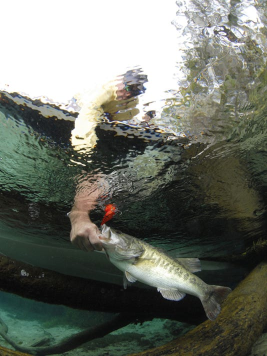 Largemouth bass being caught