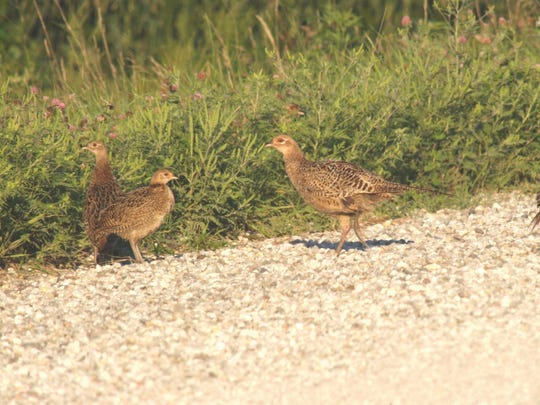 One, two, three, four, the pheasants are counted as hunters await the numbers of the Department of Natural Resource's annual August population survey.