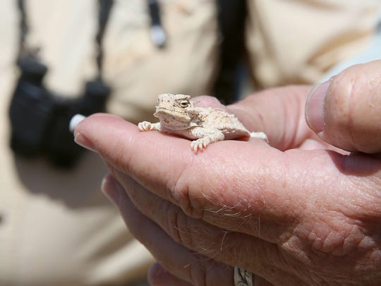 A desert horned lizard is examined during a survey of reptiles in the Pinto Basin area of Joshua Tree National Park.