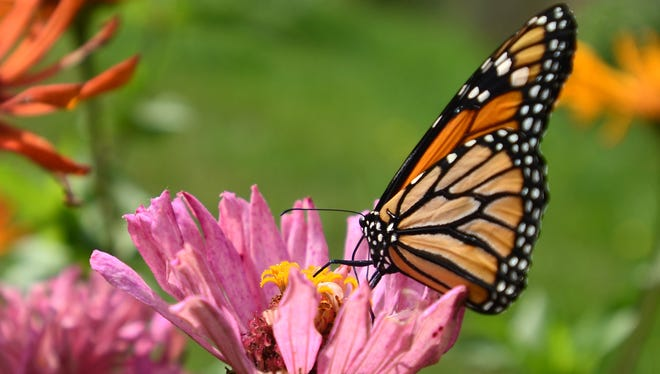 The Friends of the St. Clair River will have a butterfly presentation on Saturday.