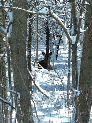 A deer in the new fallen snow in the woods of Woodland Dunes Nature Center and Preserve in Two Rivers.