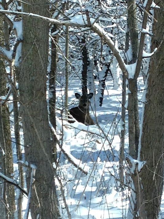 Deer in snow Woodland Dunes
