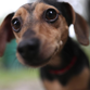"""Chewbarka"", a 3-year-old chihuahua-dachshund mix stands"