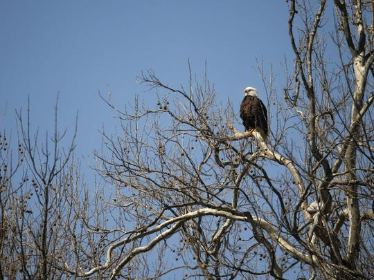 With their distinctive white heads and tails, bald eagles are easy to spot at Lake Springfield.