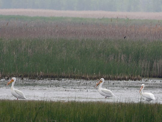 American White Pelicans stand in the water at Pointe Mouillee State Game Area in South Rockwood, Michigan on Tuesday, May 22, 2018.