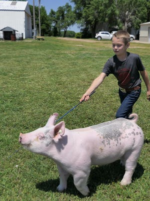 Colyer Williams, 7, of Lyons, shows his crossbred barrow, Rocky, virtually, at the Hutchinson Community College's Virtual Salt City Showdown. Contestants came from more than 20 states, Canada and Australia.