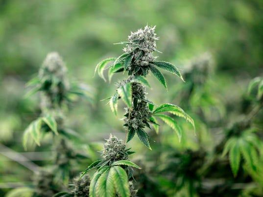 636609460557640117-marijuana-2.jpg