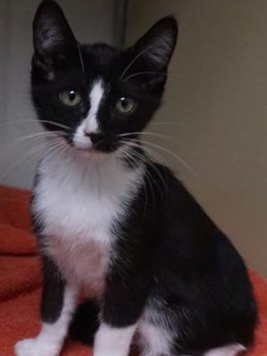 Patches is an adorable, playful, 3-month-old kitten