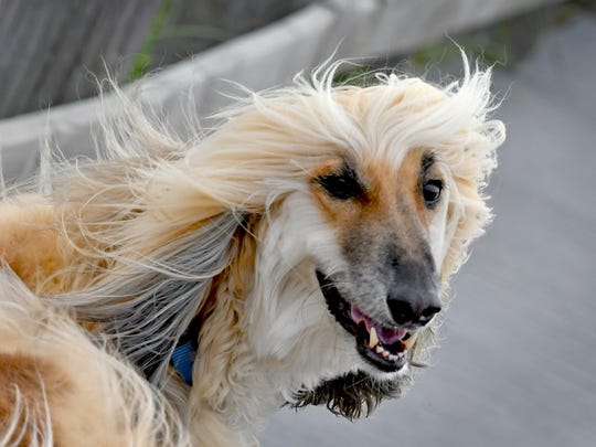 Chandi the Afghan hound looking like he is on a modeling shoot as he strutted on his daily walk in the strong wind in Indialantic. Red tide was not an issue for most Brevard beachgoers on Sunday, but the wind was much stronger than previous days.