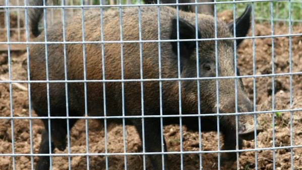 Feral hogs, shown here in a trap, damage wildlife habitats, compete with and prey upon native wildlife, destroy natural areas and agricultural land, pollute ponds and streams, and spread diseases, according to the Missouri Department of Conservation.