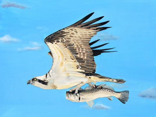 Osprey watercolor