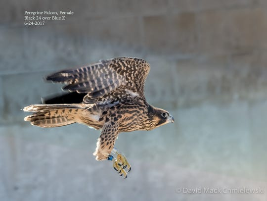 Peregrine falcon restoration is due to successfully