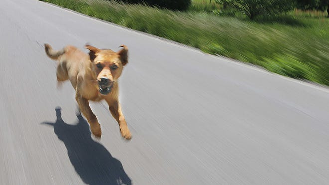 A dog chases News-Leader photographer Dean Curtis' car on a county road.