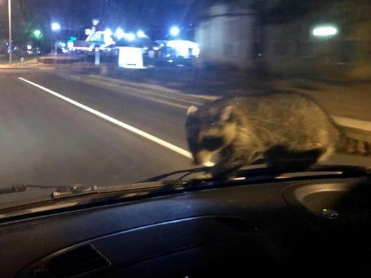 Hitchhiking Raccoon (2)