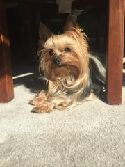 A Yorkshire terrier was stolen from a Titusville home