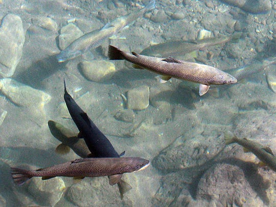 In 2014: Trout swim in the Truckee River just below