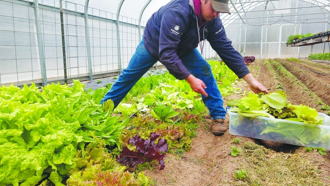 Timothy Spare picks red lettuce in his greenhouse south and east of St. John. Fresh produce is available by delivery to customers who call in their requests.