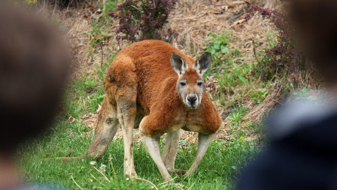 File photo of a red kangaroo.