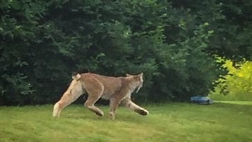 Lynx, northern animal, spotted in southern VT