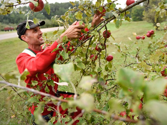 Todd Beumer, owner of Collegeville Orchards, picks ripe apples off a tree Wednesday, Sept. 7, 2016 in Collegeville.