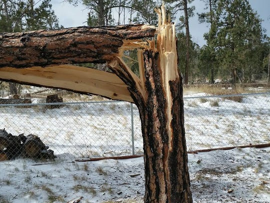 Trees in Timberon have snapped in half in the aftermath of last weekend's storm.