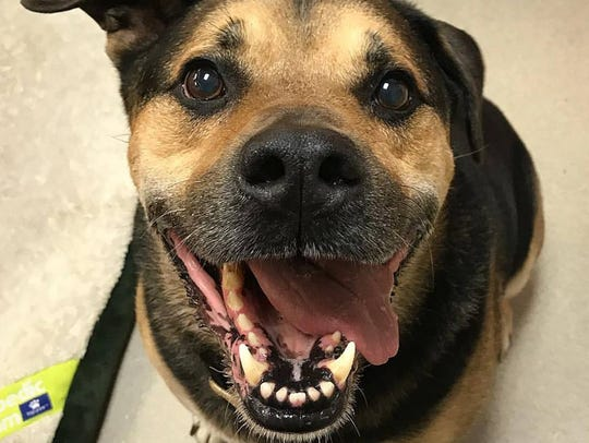 Amico is waiting for a home. Amico is a German Shepherd-Hound