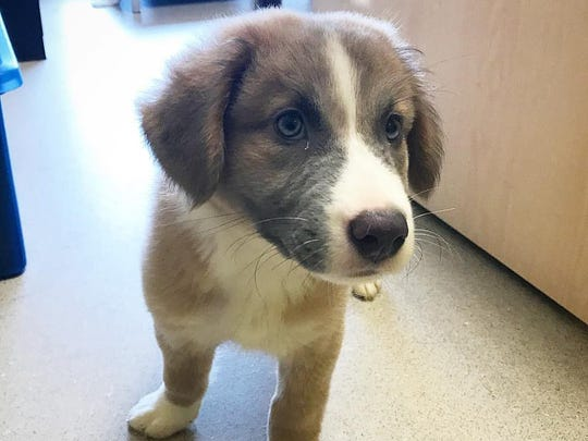 this adorable great pyrenees australian shepherd mix in nashville