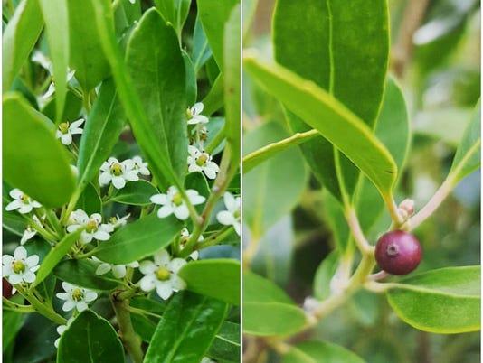 lex glabra  (inkberry)