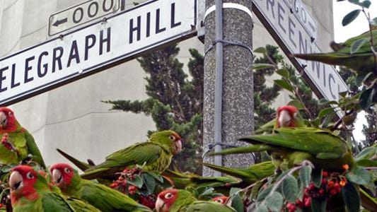 """The Wild Parrots of Telegraph Hill"" when the All Saints Cinema celebrates its 10th birthday starting at 6:30 p.m. Friday."