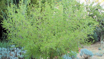 Photo of Forestiera neomexicana (New Mexico olive).