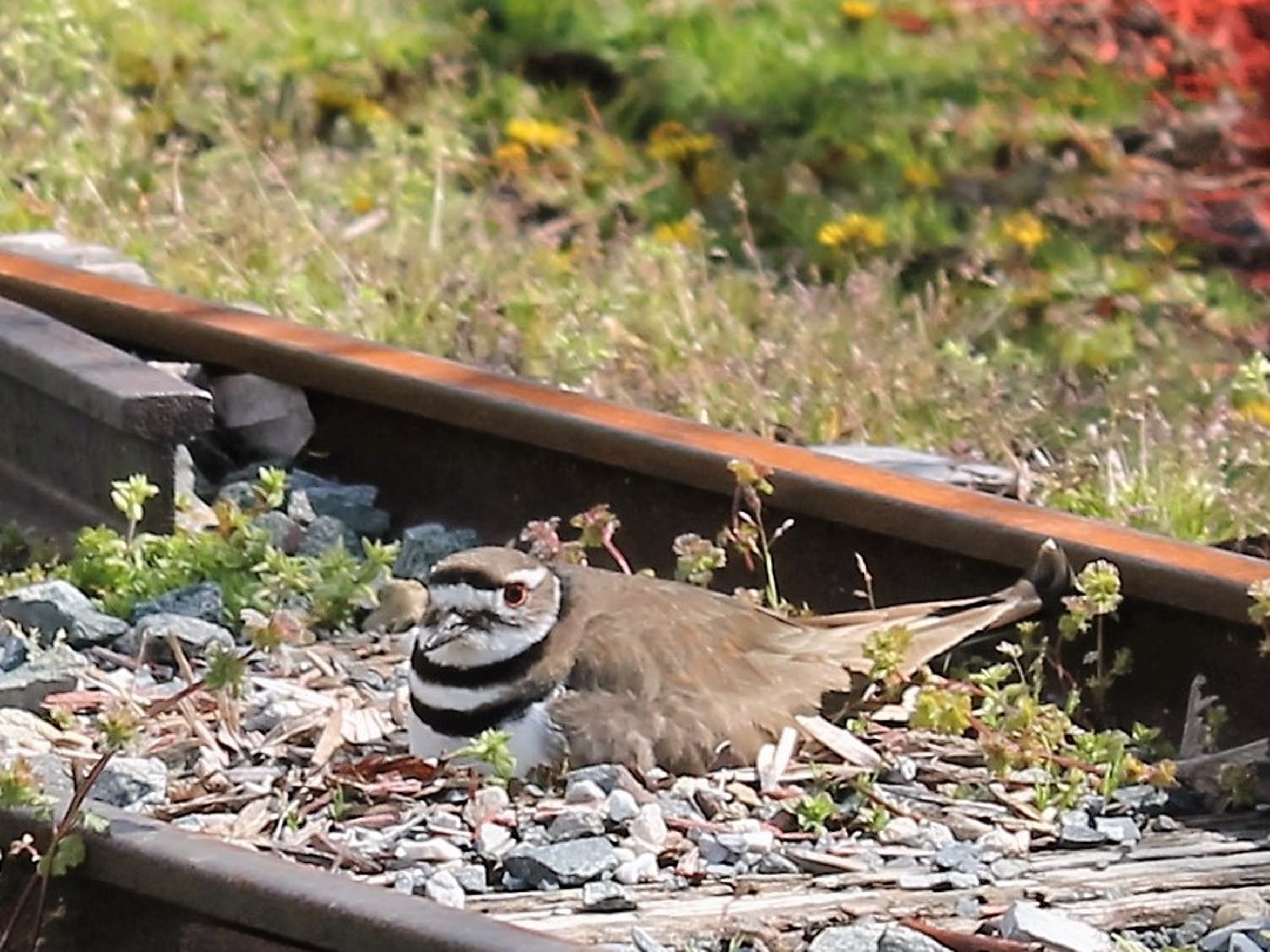 Milton's Public Works Department recently had to set up yellow caution tape to protect a tiny killdeer bird that made its nest in the railroad tracks at Milton's Memorial Park. The bird is not an endangered species, but it is protected under the Federal Migratory Bird Treaty Act of 1918. The bird will remain on the tracks for about 30 days until its eggs hatch, and then will likely move on to a wetland area to feed on insects.