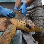 Stranding technician Marcia Thomas and volunteer Jeff Rolke carry a rescued <137>loggerhead<137> sea turtle for scheduled wound care. <137>at the Mid-Atlantic Marine Conservation Center in Virginia Beach, Va. on Wednesday, March 12, 2014. The turtle is at the center recovering from a wound caused by a boat propeller. The center is part of the Virginia Aquarium and is responsible for researching and rescuing stranded marine animals in the area, including Virginia's Eastern Shore.<137>
