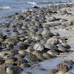 Horseshoe crabs, Mispillion Harbor, Delaware. Credit: Gregory Breese/U. S. Fish and Wildlife Service  Uploaded on flickr on October 22, 2009.  http://www.flickr.com/photos/usfwsnortheast/4035246616/