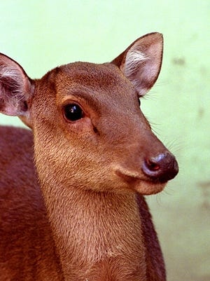 A file photo of a deer on Guam, held in captivity at the zoo.