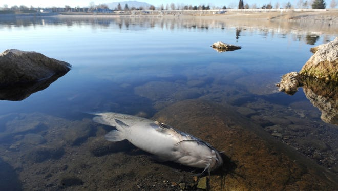 A dead catfish lies on the east shore of the Sparks Marina on Jan. 14, 2014. As many as 100, 000 trout, catfish, and bass have died due to low oxygen levels in the lake according to wildlife officials.