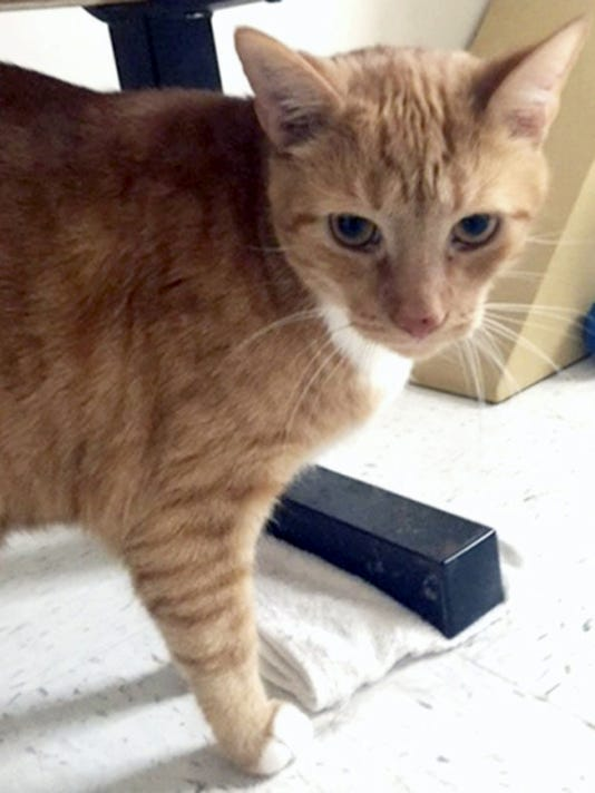 Chedda?r, 4?, is a male? orange tabby ?with a very sweet personality.