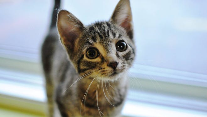 Spanky the kitten was likely stolen Tuesday, according to the Oshkosh Area Humane Society. The shelter is offering a $500 reward.