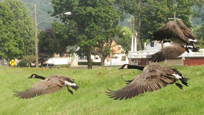 Canada geese fly over the dike near Elmira's Brand Park on their way to the Chemung River.