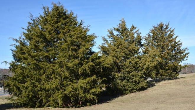 Mature red cedar trees