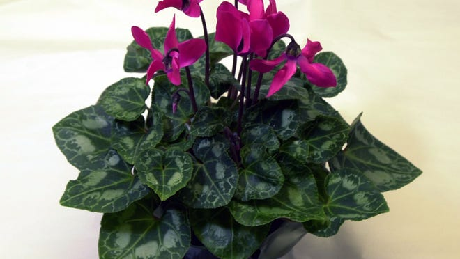 Most holiday plants, like this cyclamen, do best in cool rooms.